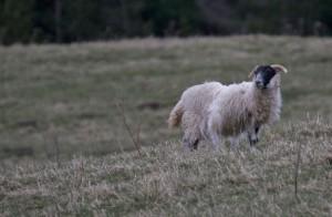 Scotich Sheep