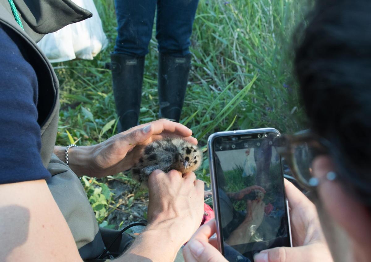Baguage poussins Mouette pygmée