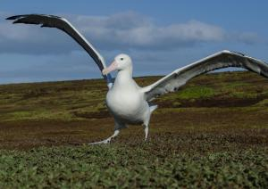 Grand-Albatros-28