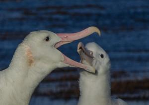 Grand Albatros-14