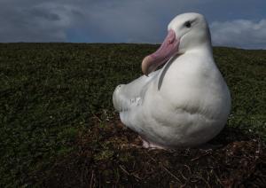 Grand Albatros-25