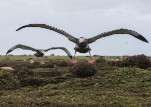 Grand Albatros-26 2