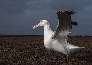 Grand Albatros-41