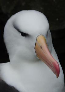 Albatros à Sourcil noir-11