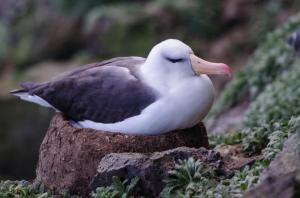 Albatros à Sourcil noir-19