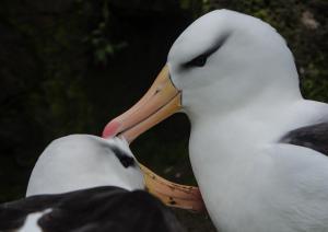 Albatros à Sourcil noir-2