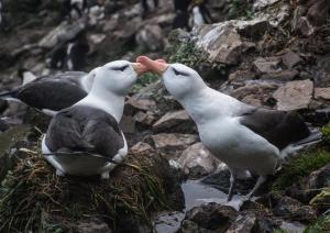 Albatros à sourcils noirs-14