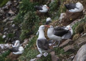 Albatros à sourcils noirs-4