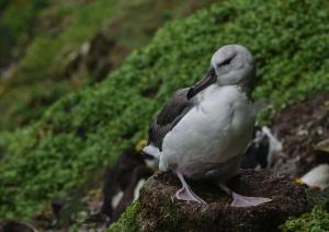 Albatros à sourcils noirs Pull-16