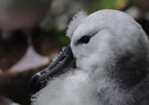 Albatros à sourcils noirs Pull-25