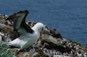 Albatros a sourcil noir-17