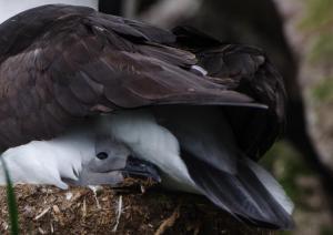 Albatros a sourcil noir-2