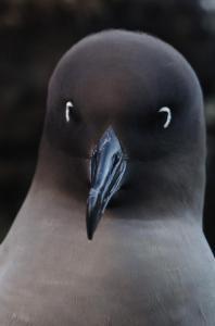 Albatros fuligineux à dos clair-1