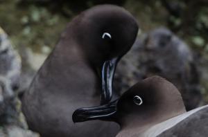 Albatros fuligineux à dos clair-12