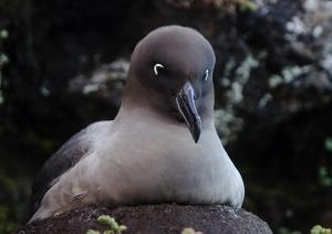 Albatros fuligineux à dos clair-2