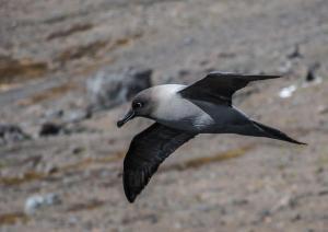 Albatros fuligineux à dos clair-2 2