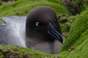 Albatros fuligineux à dos clair-4