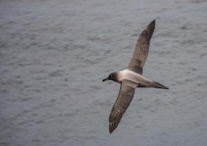 Albatros fuligineux à dos clair-5