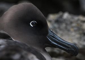 Albatros fuligineux à dos clair-6