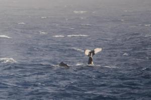 Baleine à bosse-14