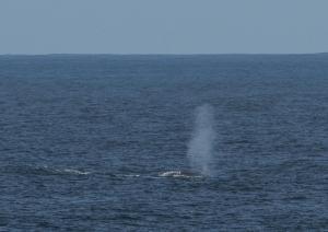 Baleine bleue-3