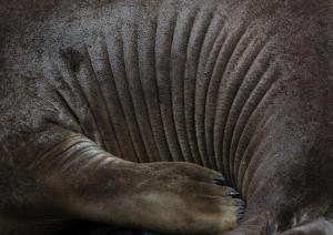 Elephan de mer-2