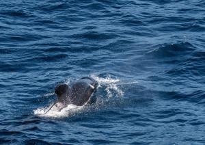 Globicéphale noire-1