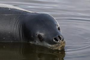 Léopard de Mer Déversoir Sud-8