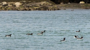 Pingouin torda & Guillemot à miroir