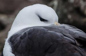 Albatros à Sourcil noir-1