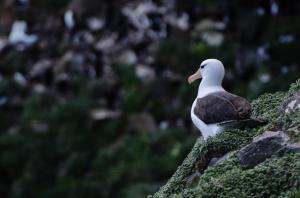 Albatros à Sourcil noir-17
