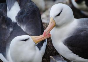 Albatros à Sourcil noir-22