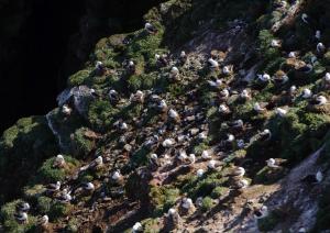Albatros à Sourcil noir-27