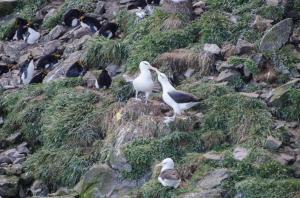 Albatros à Sourcil noir-30