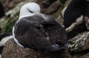 Albatros à Sourcil noir-6