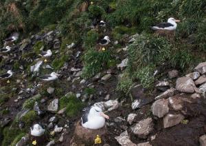 Albatros à sourcils noirs-16