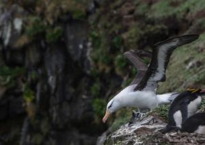 Albatros à sourcils noirs-22
