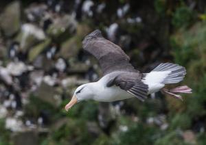 Albatros à sourcils noirs-27