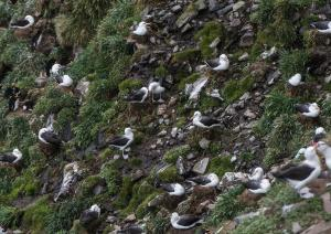 Albatros à sourcils noirs-3