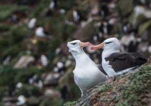 Albatros à sourcils noirs-34