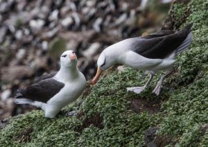 Albatros à sourcils noirs-6