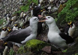 Albatros à sourcils noirs Pull-1