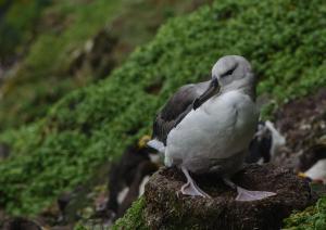 Albatros à sourcils noirs Pull-15