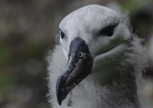 Albatros à sourcils noirs Pull-20