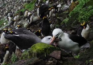 Albatros à sourcils noirs Pull-3