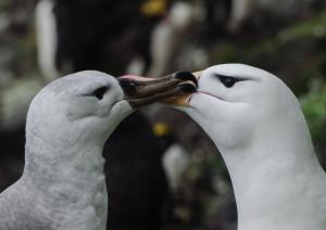 Albatros à sourcils noirs Pull-5