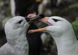 Albatros à sourcils noirs Pull-6