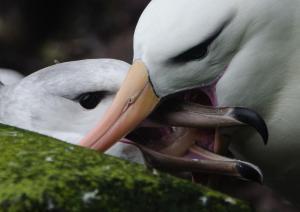 Albatros à sourcils noirs Pull-9