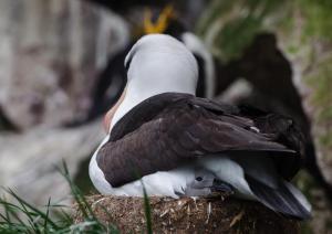 Albatros a sourcil noir-1
