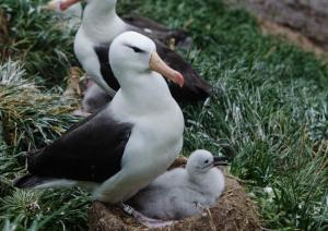 Albatros a sourcil noir-3